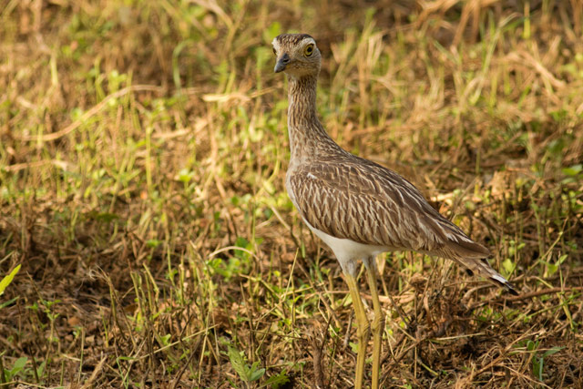 double-striped thick-knee photo