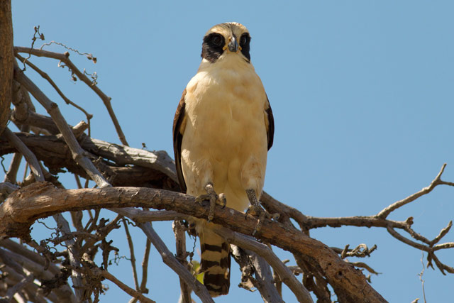 laughing falcon photo